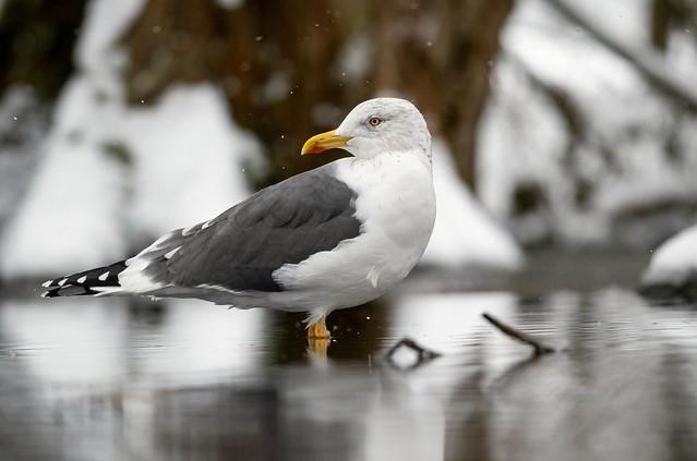 Lesser Black-Backed Gull. ( I think )