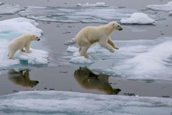 polar bears shutterstock