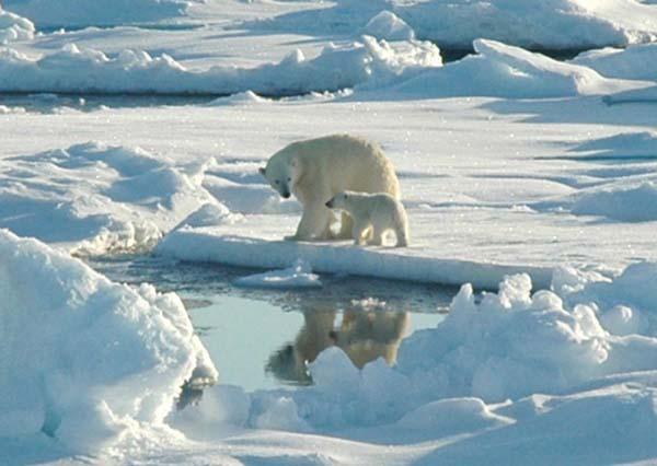 arctic_ploar_bear
