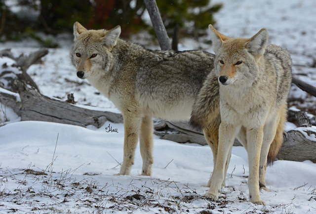 Coyotes with a Real Love Connection - 3528b+
