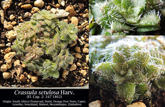 Crassula setulosa (collage)