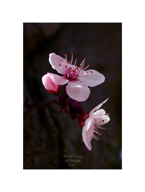 Prunus cerasifera.
