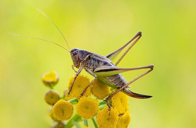 Kurzflügelige Beissschrecke (Metrioptera brachyptera)♀