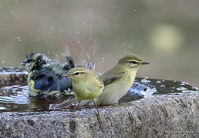 0S8A1430. Willow Warbler (Phylloscopus trochilus)