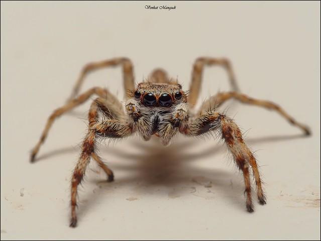 Jumping Spider (Menemerus sp)