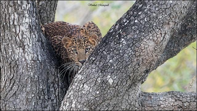 Leopard Cub (Panthera Pardus Fusca)