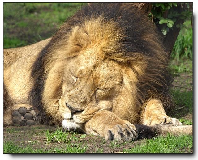The Lion Sleeps Tonight...........