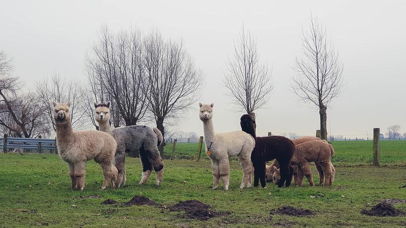 alpaca 1ste prijs
