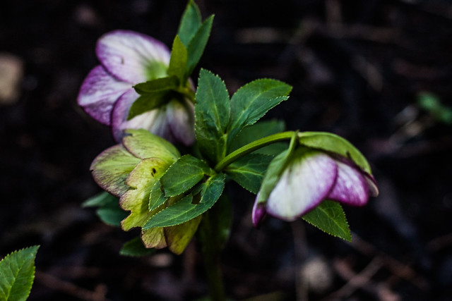 Hellebore with a touch of colour