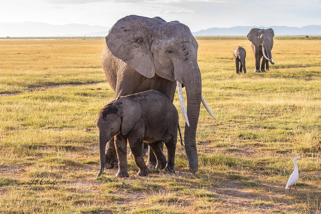 Armchair Traveling - Mothers & Babies in Amboseli National Park, Kenya