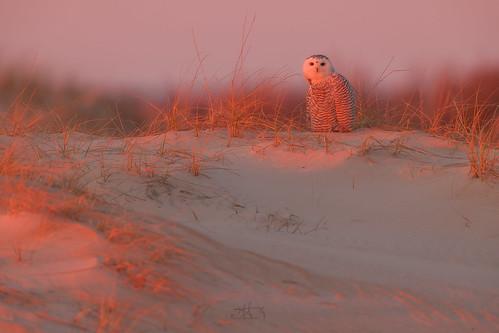 snowyowl owl nature sunrise beach seashore morning assateague assateagueisland maryland bird