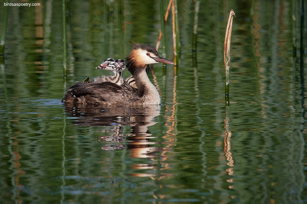 Great Crested Grebe : Time for a trip around the Neighbourhood