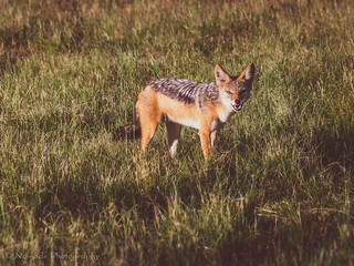 Jackal | by nomadsnature