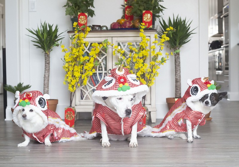 Sunny the Pitbuill Winter the Eskimo Spot the Chihuahua Lunar New Year 2021 Year of the Metal Ox Tuyen Chau
