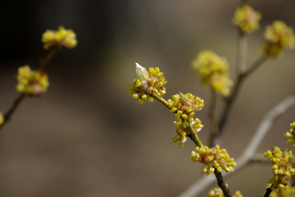 Yellow Twigs