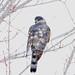 248A4567 sharp skinned hawk
