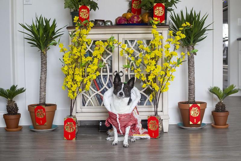 Spot the Chihuahua Lunar New Year 2021 Year of the Metal Ox Tuyen Chau