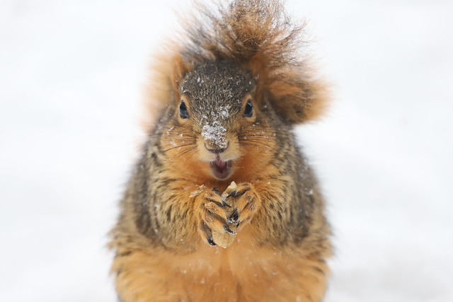 Fox Squirrels in Ann Arbor at the University of Michigan on February 18th, 2021