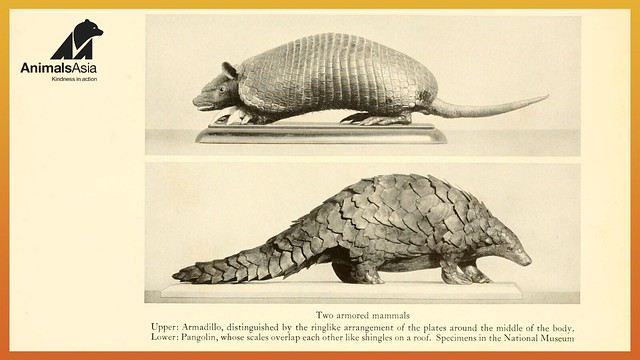 Pangolin and armadillo