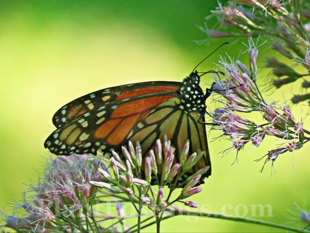 joepye monarch 2