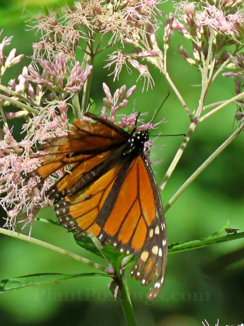 joepye monarch 1