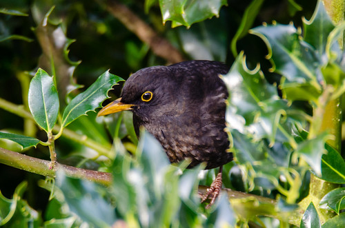 Peeping from the holly bush, male blackbird