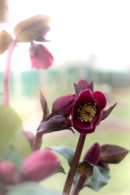 Anna red, New Hellebore for my garden
