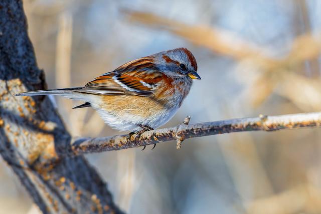 Bruants Hudsoniens - American Tree Sparrow - Spizella arborea