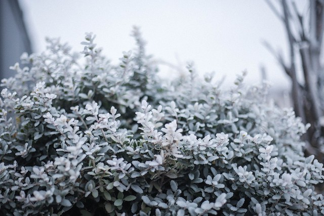 ice-covered plants