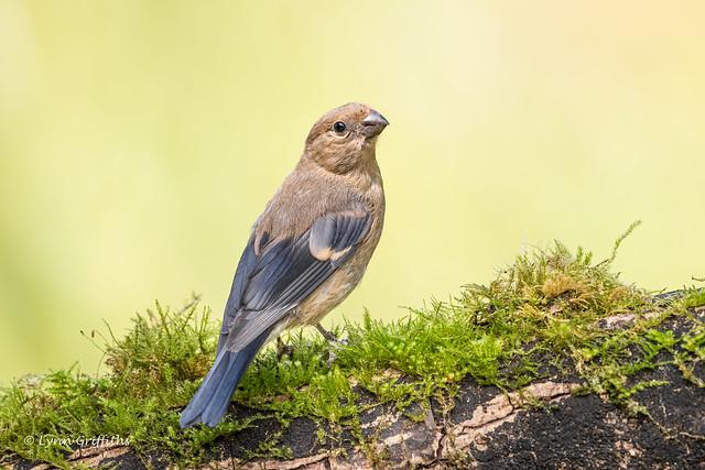 Juvenile Bullfinch D85_9502.jpg