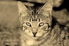 Un gato en Polvoranca IMG_3748sepia