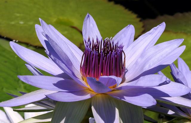 Sun-filled Lotus