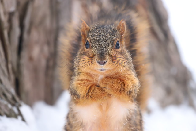 Fox Squirrels in Ann Arbor at the University of Michigan 49/2021 252/P365Year13 4635/P365all-time (February 18, 2021)