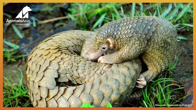 Pangolin and baby