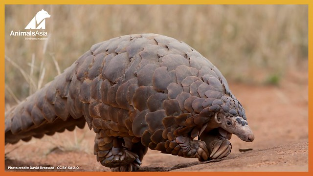 Pangolin walking