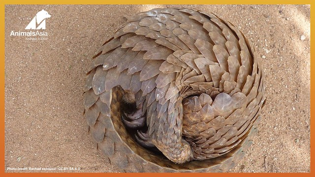 Pangolin ball