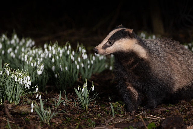 Badger doing its rounds in the forest, maybe get some flowers for his lady?