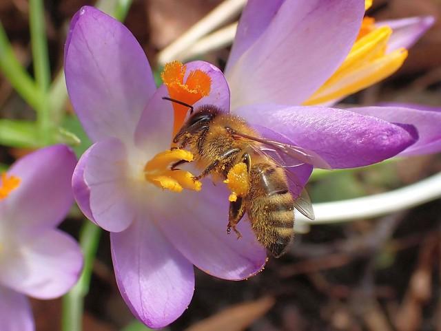 February Sting. Honeybee on Crocus, Canon Pond, Venlo, The Netherlands
