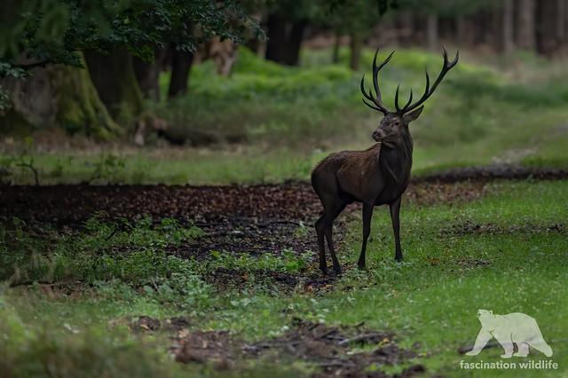 Red Deer Stag #explored
