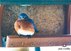 Eastern Bluebirds in Snow