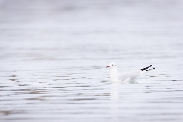 Mouette Rieuse / Black-Headed Gull / Chroicocephalus Ridibundus