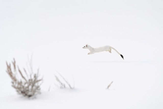 A long-tailed weasel runs through the snow in Lamar Valley. These little guys are tiny and amazingly fast. Yellowstone National Park. February, 2021.
