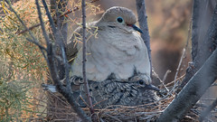 mourning dove with chick