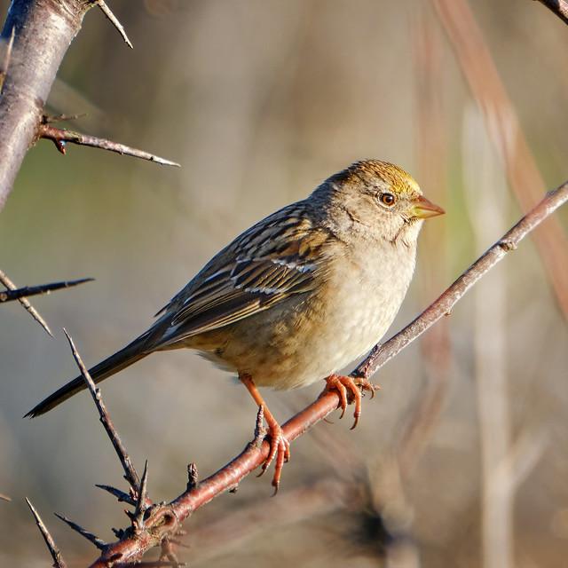 Golden-crowned Sparrow in winter plummage