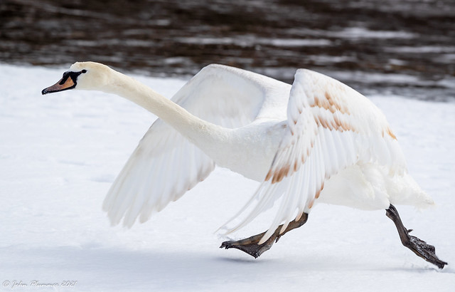 Mute Swan taking off in the snow