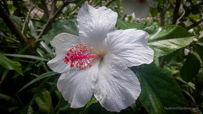 Hibiscus arnottianus