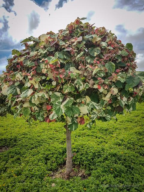 Hibiscus tiliaceus variegata