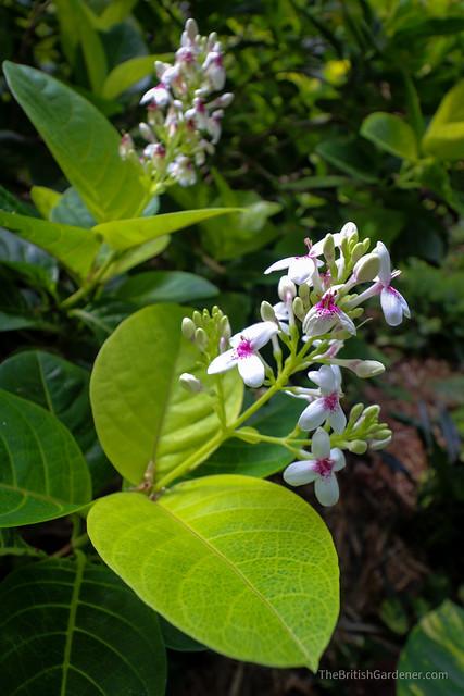 Pseuderanthemum carruthersii var.carruthersii 'Reticulatum'