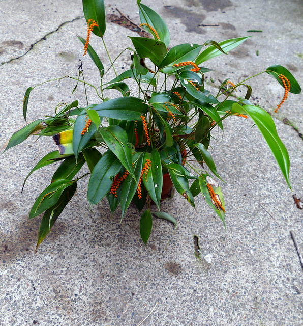 Pleurothallis truncata species orchid