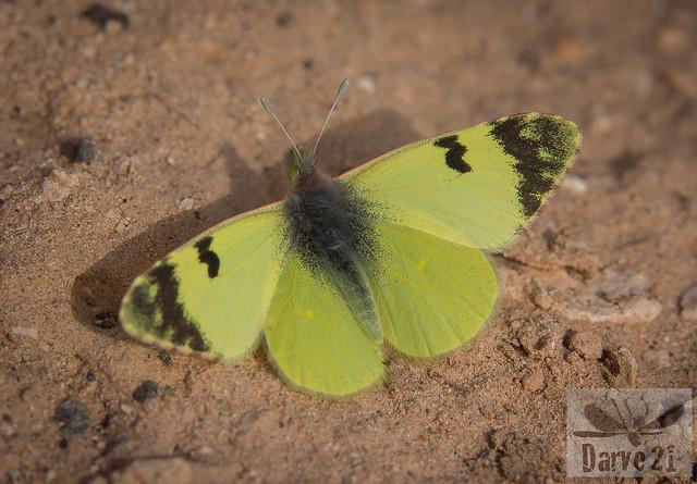 Greenish Black-Tip - Euchloe charlonia